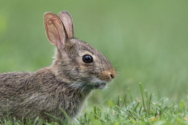 Adorabile giovane orientale coniglio silvilago profilo laterale closeup in green grass