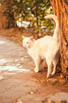 Un bellissimo gatto bianco adulto con occhi di colore diverso sfrega contro un tronco d'albero nel periodo estivo