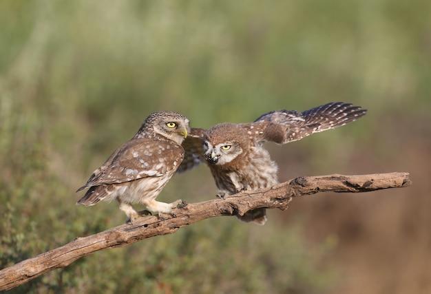 Uccelli adulti e pulcini di civetta (athene noctua) vengono fotografati a distanza ravvicinata su uno sfondo sfocato.