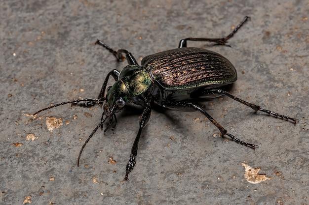 Cacciatore di caterpillar adulto scarabeo della specie calosoma alternans