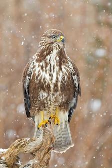Poiana comune adulta, buteo buteo, caccia nella foresta mentre nevica. uccello rapace concentrato seduto e osservando i fiocchi di neve. rapace dominante arroccato che guarda la neve nella composizione verticale.