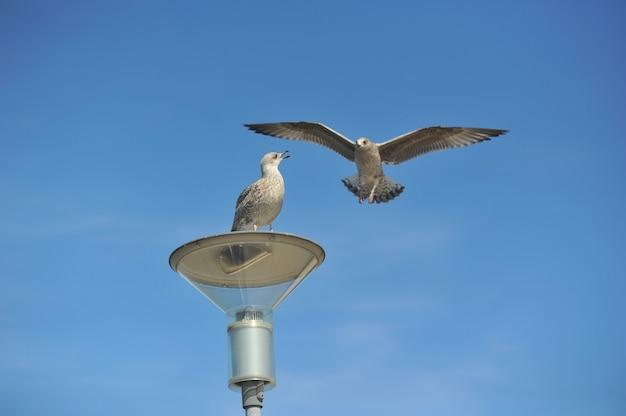 Un gabbiano comune adulto o gabbiano mew in piedi su un tetto