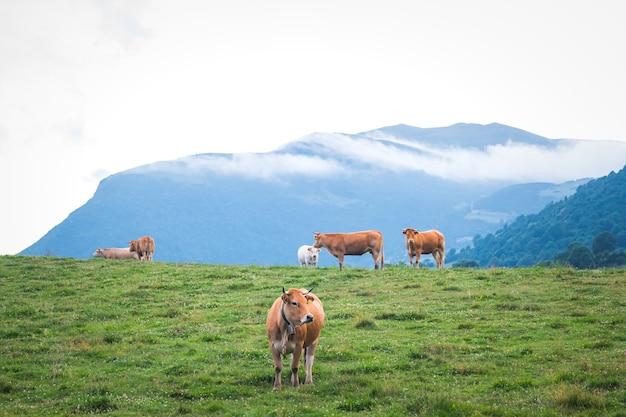 Mucche adulte in un paesaggio pirenaico, camprodon