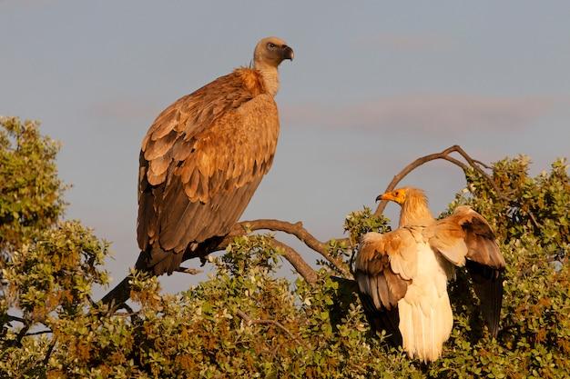 Adulto di avvoltoio egiziano e grifone su un albero