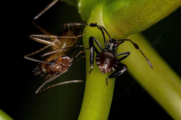 Femmina adulta formica carpentiere del genere camponotus e ninfa dai piedi di foglia della superfamiglia coreoidea