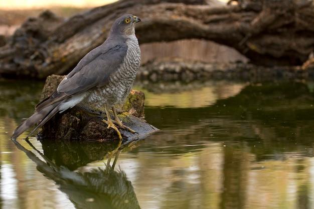 Femmina adulta di sparviero eurasiatico fare il bagno e bere in una buca d'acqua in estate, falco, uccelli, falchi, accipiter nisus