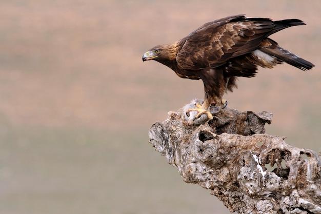 Femmina adulta di golden eagle in una giornata nuvolosa, aquila chrysaetos