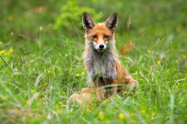 Femmina adulta della volpe rossa, vulpes di vulpes che si siedono nell'erba alta in primavera