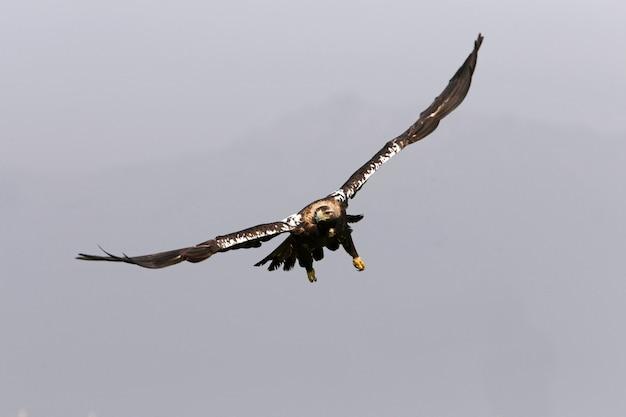 Femmina adulta imperiale spagnola che vola alle prime luci del giorno