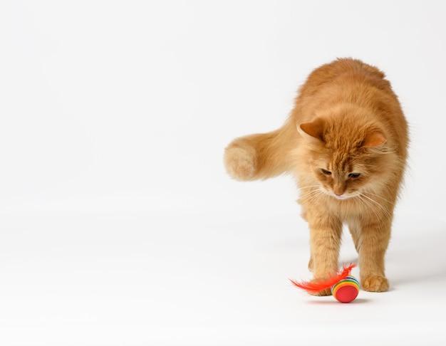 Gatto rosso lanuginoso adulto gioca con una palla rossa su sfondo bianco, simpatico animale
