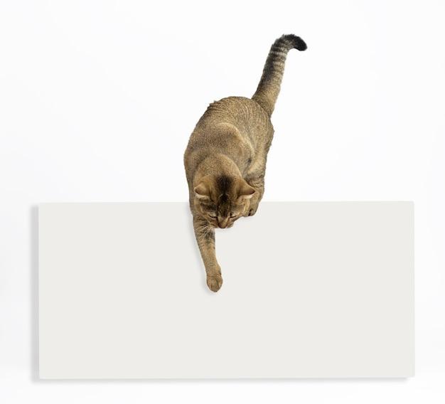 Un cincillà diritto scozzese adulto del gatto grigio sopra un annuncio bianco in bianco indica con la sua zampa verso il basso. modello per scrivere il testo in basso, vendita