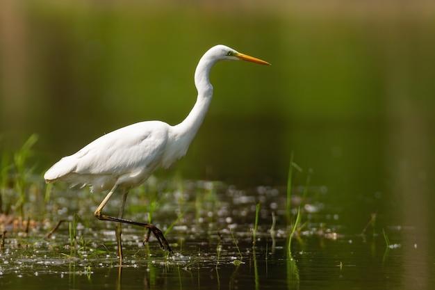 Grande airone bianco adulto a caccia nel lago con una gamba in alto in una giornata di sole