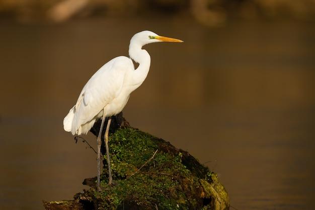 Airone bianco maggiore adulto con piumaggio bianco seduto su un ramo circondato dall'acqua