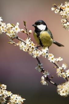 Cinciallegra adulta seduta sul ramoscello pieno di fiori.
