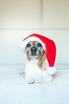 Cane adulto jack russell con cappello da babbo natale sdraiato su sfondo bianco e guardando la telecamera