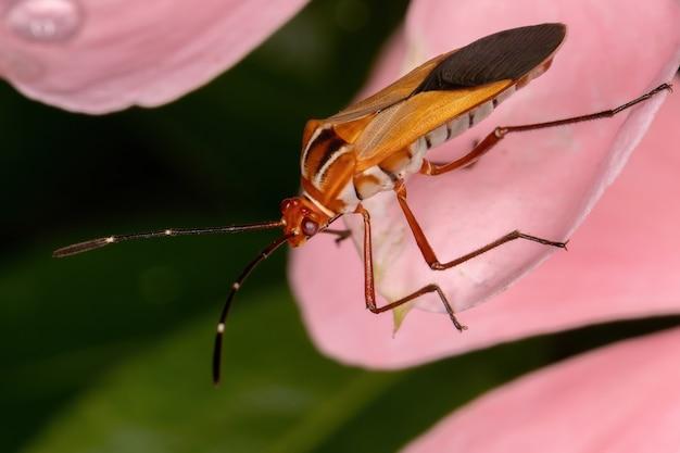Insetto fogliare adulto della specie hypselonotus interruptus