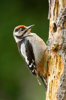 Picchio rosso minore adulto che fa un buco nell'albero