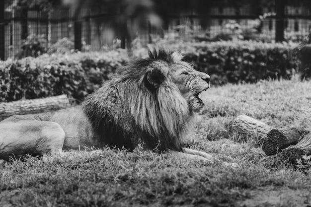 Il leone adulto ruggisce