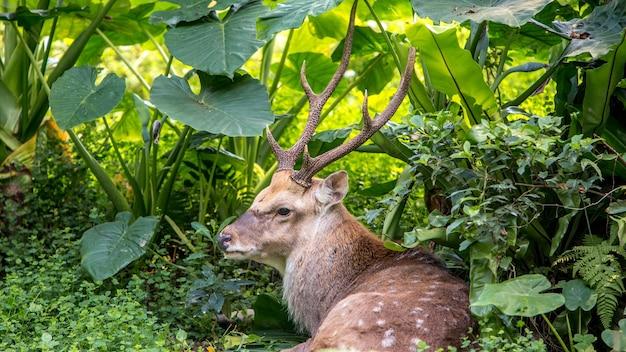 Un maschio adulto cervus nippon che riposa sdraiato tra gli alberi e le piante forestali in una calda giornata estiva. cervi sika in montagna.