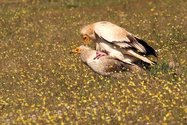 Maschio adulto e femmina di accoppiamento avvoltoio egiziano