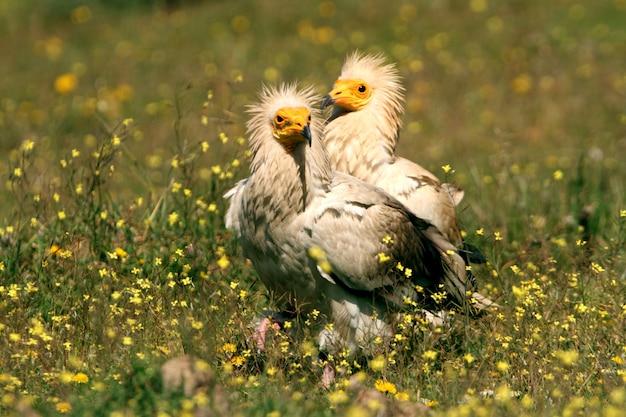 Maschio adulto e femmina di avvoltoio egiziano