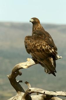 Aquila reale del maschio adulto alle prime luci del giorno, chrysaetos dell'aquila