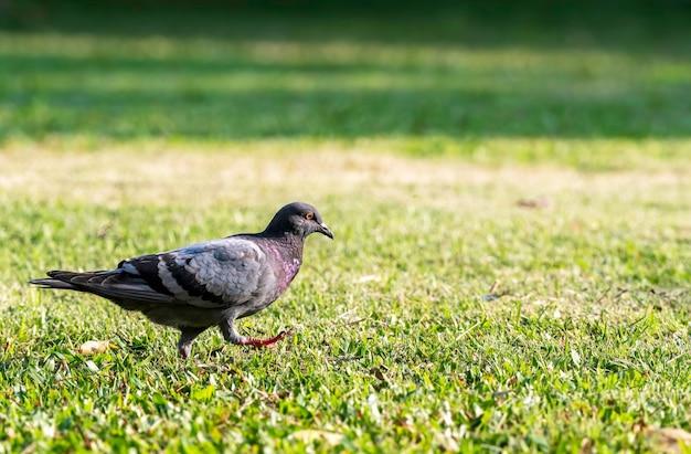 Colomba della roccia del maschio adulto, piccione della roccia o piccione comune che cammina sul prato inglese, tailandia