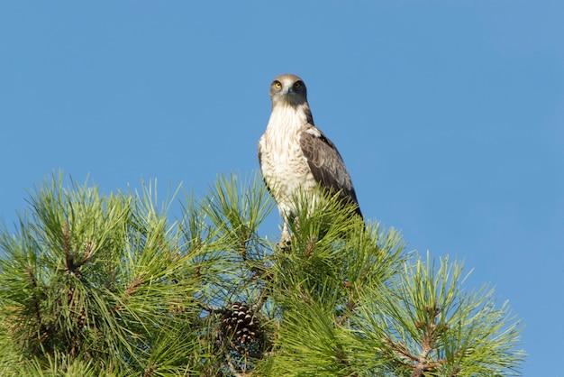 Maschio adulto di shorttoed eagle in un pino con la prima luce di una giornata di sole