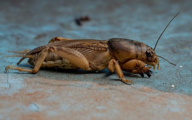 Cricket talpa adulto del genere neoscapteriscus