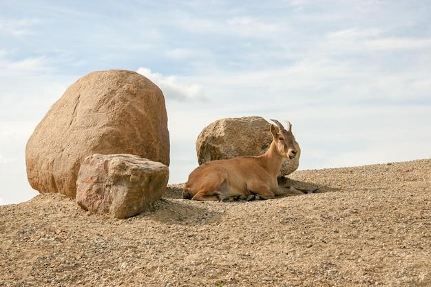Una capra di montagna adulta giace su un pendio vicino a tre grandi pietre contro il cielo. cielo soleggiato con nuvole.