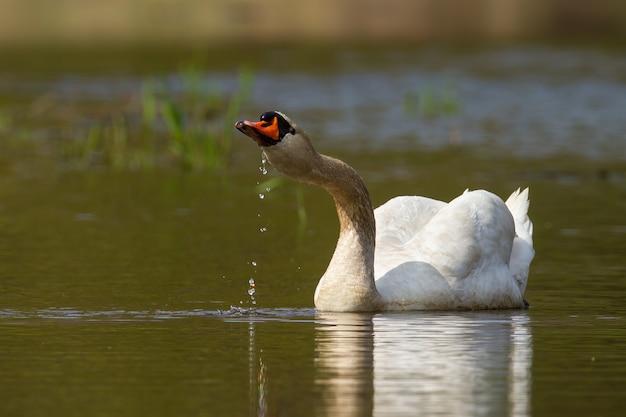 Cigno adulto che beve acqua mentre nuota nel lago in primavera