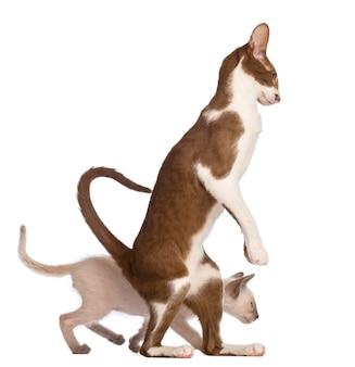 Shorthair orientale adulto che sta sulla gamba posteriore con il gattino che cammina dietro lui