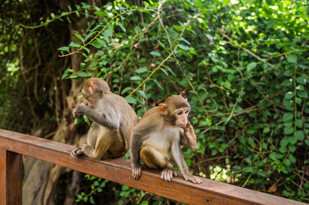 Macaco adulto di rhesus delle scimmie del viso arrossato nel parco naturale tropicale di hainan, cina. scimmia sfacciata nell'area della foresta naturale. scena della fauna selvatica con animale di pericolo. mulatta macaca.
