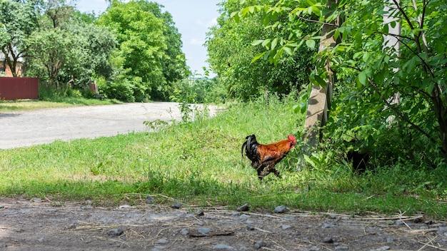Il gallo adulto cammina sulla strada nel villaggio