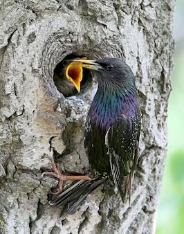 Uno storno adulto alimenta il suo pulcino in un albero cavo
