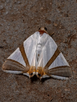 Falena underwing adulta della specie eulepidotis rectimargo