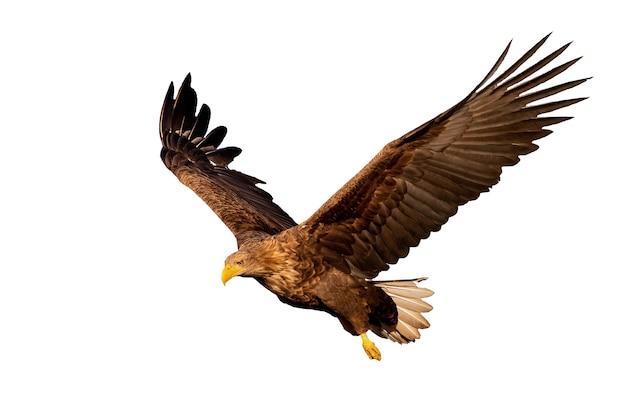 Aquila dalla coda bianca adulta, haliaeetus albicilla, volando con le ali spiegate aperte guardando in basso isolato su sfondo bianco. ritaglia il rapace nell'aria al tramonto.