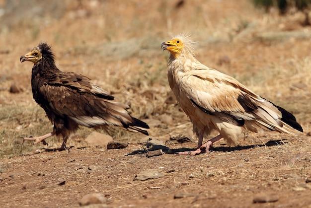 Adulti e giovani di avvoltoio egiziano