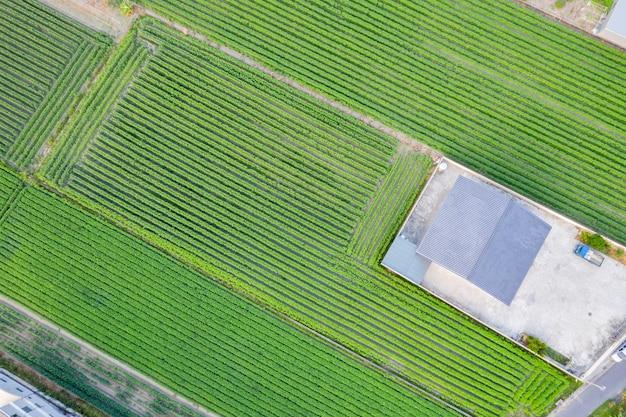 Vista aerea superiore del campo di sesamo a taiwan