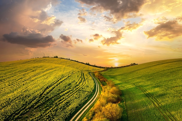 Vista aerea del campo di fattoria agricola verde brillante con piante di colza in crescita e strada sterrata di fondo al tramonto.