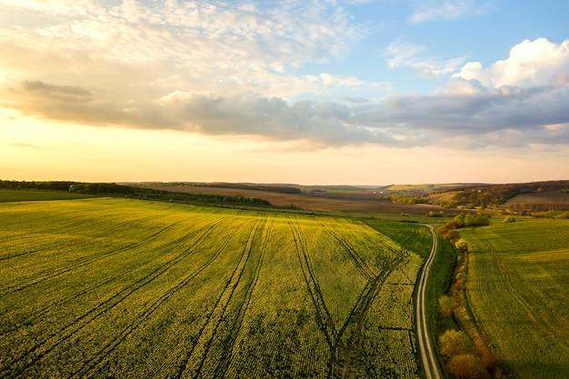 Vista aerea del campo di fattoria agricola verde brillante con piante di colza in crescita e strada sterrata che attraversa il paese al tramonto.