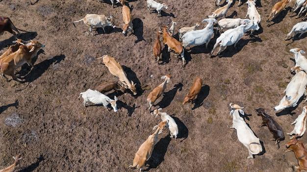 Vista aerea di mucche, pascolo nella campagna thailandese