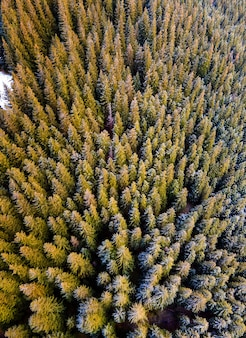 Vista aerea di una fitta foresta di pini verde con tettoie di abeti in montagne autunnali.