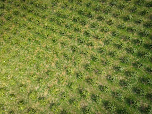 Vista aerea del drago frutta campi verdi natura fattoria agricola sfondo, vista dall'alto drago albero da frutto dall'alto delle colture in verde, vista a volo d'uccello tropicale pitaya albero da frutto asiatico