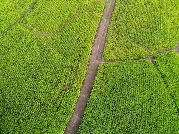 Vista aerea campo natura fattoria agricola sfondo, vista dall'alto campo di mais dall'alto con parcelle agricole stradali di diverse colture di mais in colori verdi