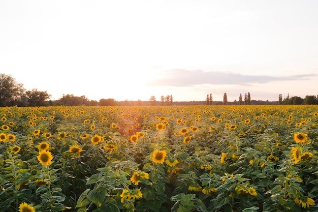 Vista aerea fioritura campo di girasole pianta nel tramonto .ucraina