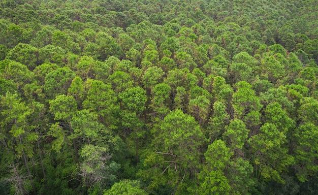 Vista aerea foresta albero ambiente foresta natura sfondo, texture di albero verde vista dall'alto foresta dall'alto paesaggio bird eye view pineta asiatica