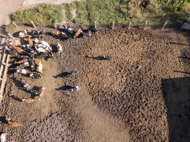 Vista aerea da drone a terreni agricoli agricoli con una mandria di mucche pascolano in un caseificio. vista dall'alto.