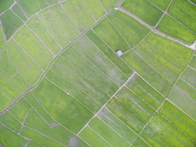 Veduta aerea da drone. piante di riso in risaia
