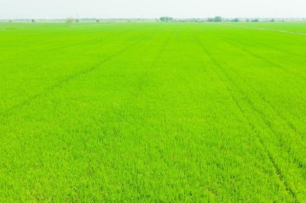 Vista aerea dal drone volante di riso di campo con sfondo di natura modello paesaggio verde, riso campo vista dall'alto Foto Premium